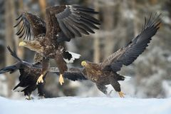 Eagle chase. Eagles action Royalty Free Stock Image