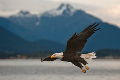 Eagle chauve à l'approche Image stock