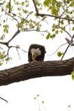 Eagle chauve été perché sur une branche, mangeant un poisson photos stock