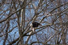 Eagle chauve été perché sur une branche mangeant un poisson images stock