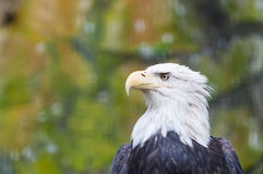 Eagle chauve photo libre de droits