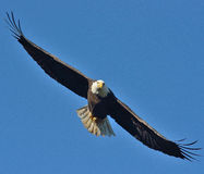 Eagle chauve Photos stock