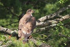 Eagle chauve adolescent Images stock