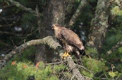 Eagle chauve adolescent Photographie stock libre de droits