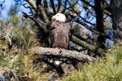 Eagle chauve américain été perché sur une branche Images stock