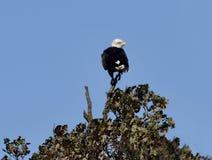 Eagle chauve américain photographie stock libre de droits