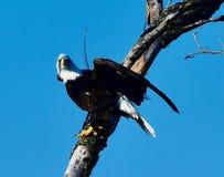 Eagle chauve américain #2 photographie stock