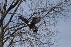 Eagle chauve américain #1 images libres de droits