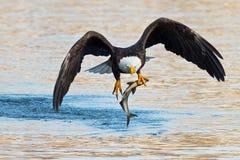 Eagle chauve américain avec des poissons photos libres de droits