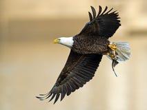 Eagle chauve américain avec des poissons images libres de droits