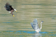 Eagle chauve américain avec le héron de grand bleu image stock
