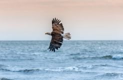 Eagle chauve américain chez l'Alaska Photographie stock