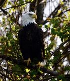 Eagle chauve américain dans Vermilion, Ohio images stock