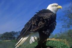 Eagle chauve américain, fourchette de pigeon, TN image stock