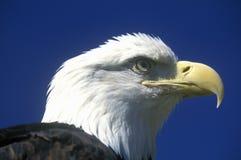 Eagle chauve américain, fourchette de pigeon, TN image libre de droits