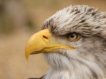 Eagle chauve américain - leucocephalus de Haliaeetus - fin  images libres de droits