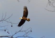 Eagle chauve américain montant Images libres de droits