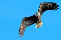 Eagle chauve américain Images libres de droits