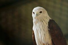 Eagle chauve au parc de COV photos stock