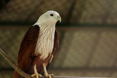 Eagle chauve au parc de COV photographie stock libre de droits