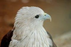 Eagle chauve au parc de COV photographie stock