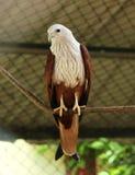 Eagle chauve au parc de COV images stock