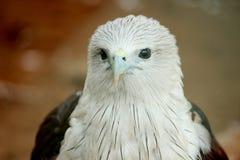 Eagle chauve au parc de COV photo stock