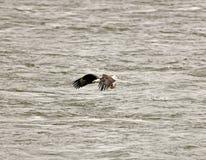 Eagle chauve avec des poissons Photos stock