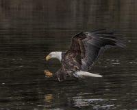 Eagle chauve avec des serres tendues photographie stock libre de droits
