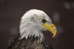 Eagle chauve avec le bec pointu Photo stock
