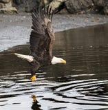 Eagle chauve ?cr?mant au-dessus du secteur de plage ? la recherche des poissons photographie stock