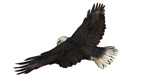 Eagle chauve dans la mouche - fond blanc Photographie stock