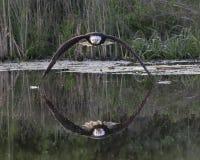 Eagle chauve dans le vol gratuit au-dessus de l'eau photo stock