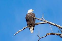 Eagle chauve, Denver, le Colorado photographie stock
