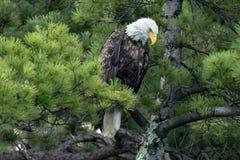 Eagle chauve du nord dans le pin vert photographie stock