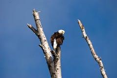 Eagle chauve en haut d'un arbre mort photos libres de droits