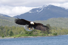 Eagle chauve en vol Photos libres de droits