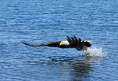 Eagle chauve en vol, l'Alaska images stock