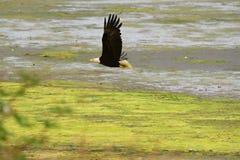 Eagle chauve en vol, poussée de La, WA Photographie stock libre de droits