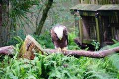 Eagle chauve est picoter de plume photos libres de droits