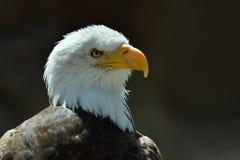 Eagle chauve et le x28 ; Leucocephalus& x29 de Haliaeetus ; image libre de droits