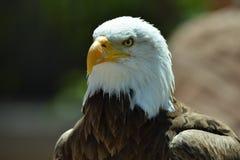 Eagle chauve et le x28 ; Leucocephalus& x29 de Haliaeetus ; images stock