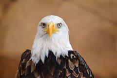 Eagle chauve et le x28 ; Leucocephalus& x29 de Haliaeetus ; images libres de droits