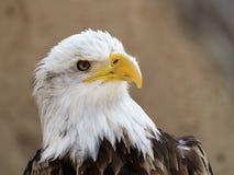 Eagle chauve et le x28 ; Leucocephalus& x29 de Haliaeetus ; photographie stock libre de droits