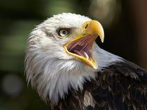 Eagle chauve et le x28 ; Leucocephalus& x29 de Haliaeetus ; photographie stock