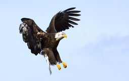 Eagle chauve. L'Alaska, Etats-Unis Image libre de droits