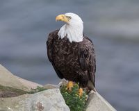Eagle chauve mûr sur un rebord de roche photographie stock