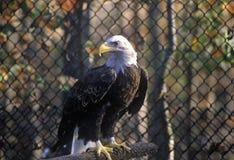 Eagle chauve mûr, terre entre les lacs, KY Image libre de droits