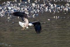 Eagle chauve montant près de Colombie-Britannique de Squamish images libres de droits