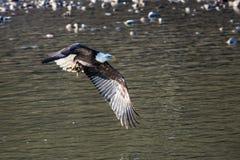 Eagle chauve montant près de Colombie-Britannique de Squamish image stock